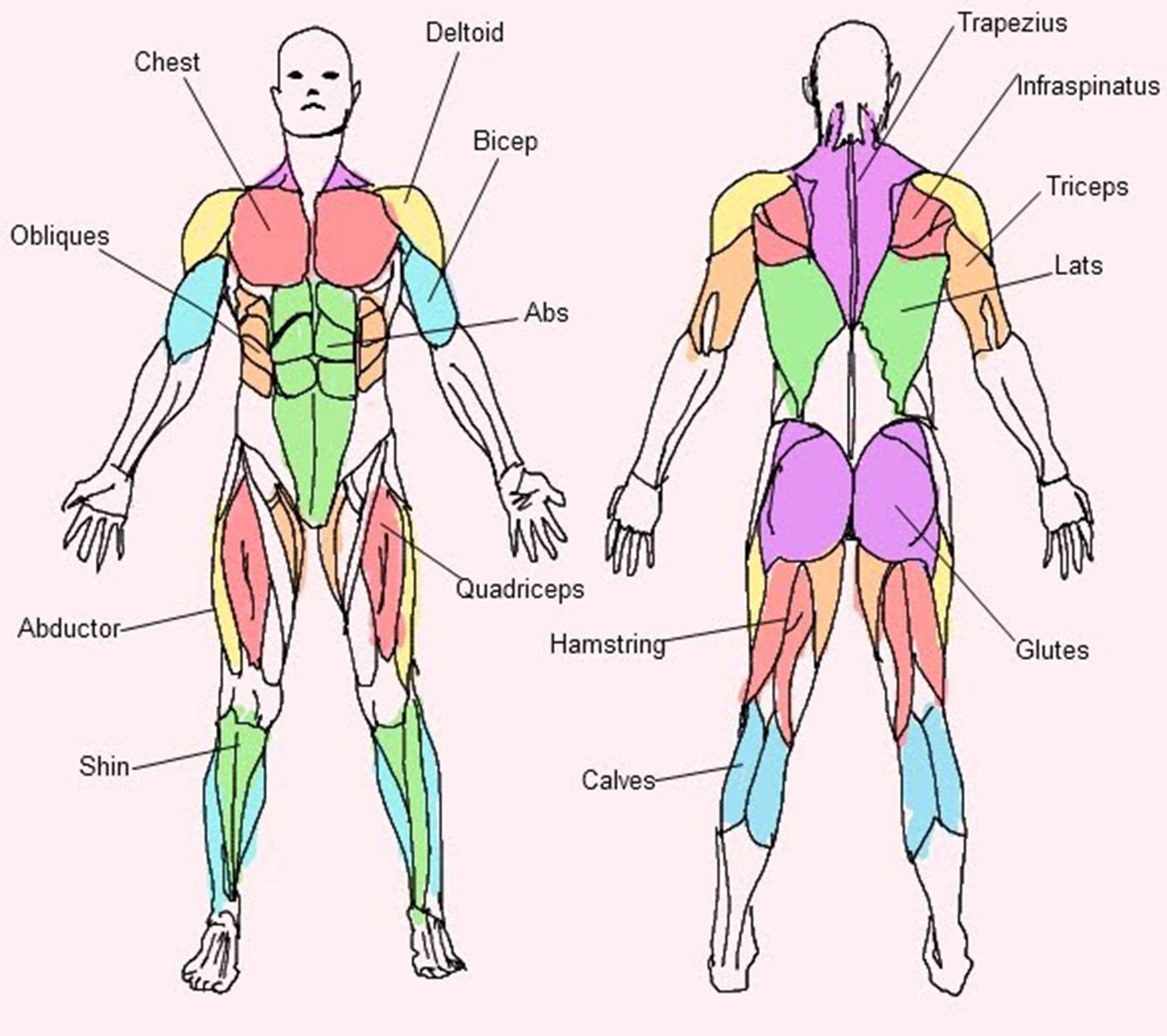 Anatomy of the muscular system worksheet