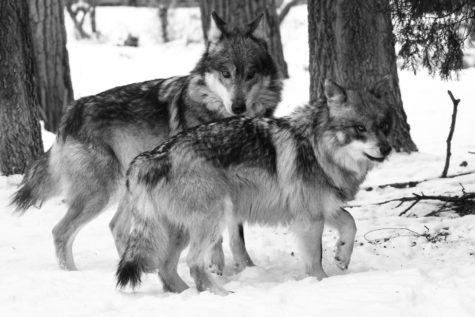 Brookfield Zoo helps repopulate wolf species