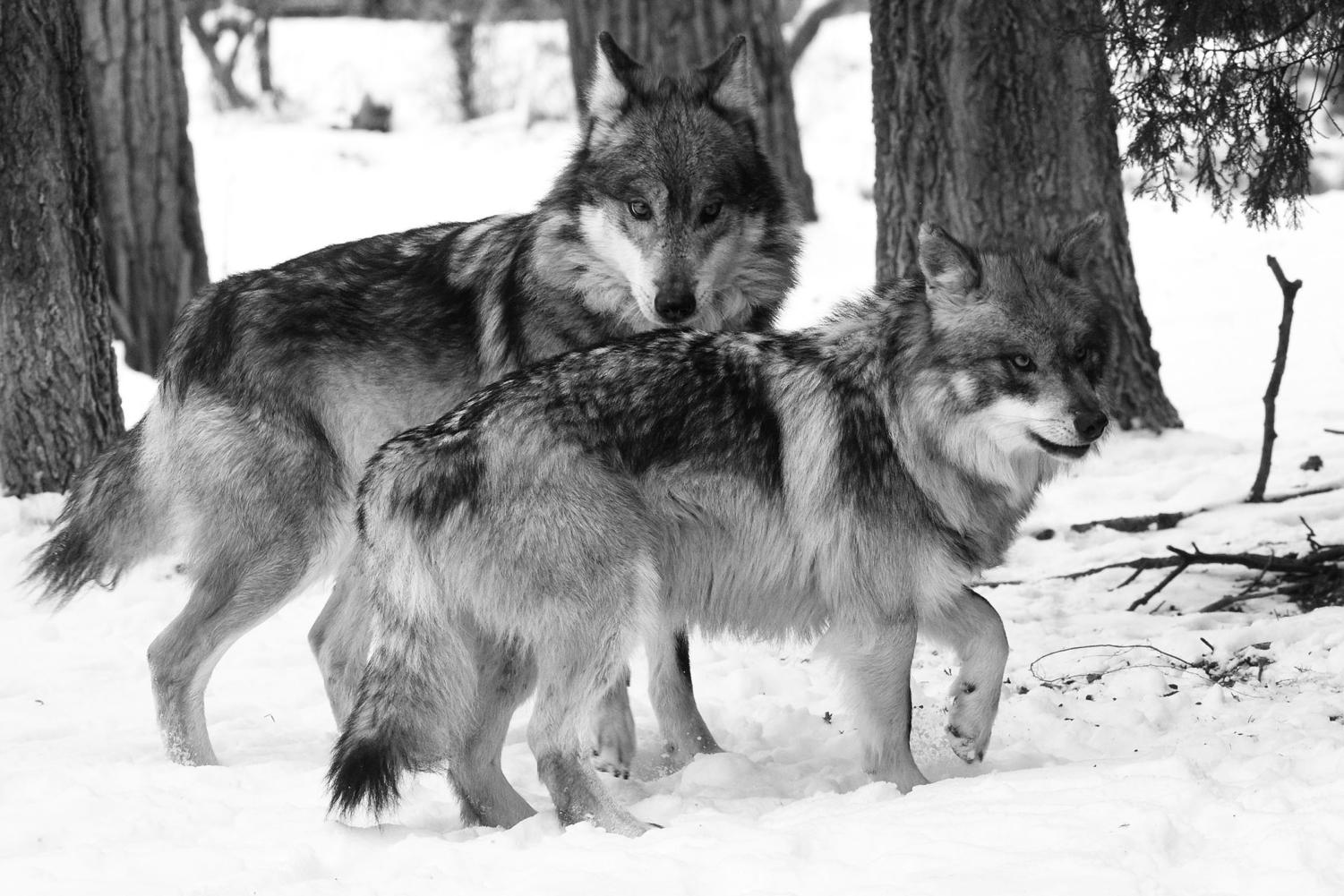 Apache (background) and Ela play in the snow and get acquainted at Brookfield Zoo. They can be seen at the zoo's Regenstein Wolf Woods habitat (Jim Schulz/ Chicago Zoological Society).